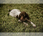 Small #11 German Shorthaired Pointer