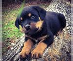 Small #19 Rottweiler