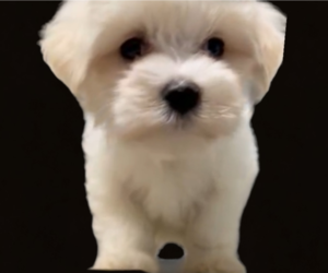 Maltese Puppy for Sale in FORT WORTH, Texas USA