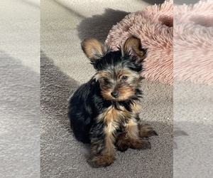 Yorkshire Terrier Puppy for sale in VICTORVILLE, CA, USA