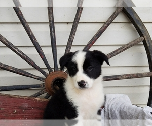Border Collie Puppy for sale in MOUNT PLEASANT MILLS, PA, USA
