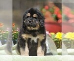 Puppy 4 Tibetan Mastiff