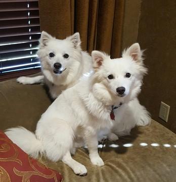 American Eskimo Dog puppy