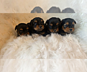 Yorkshire Terrier Puppy for sale in LOCUST GROVE, GA, USA