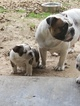 Bulldog Puppy For Sale in KEMP, TX, USA
