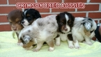 Miniature Australian Shepherd Puppy For Sale in DOTHAN, AL, USA