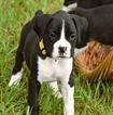 AKC Registered Champion Bloodline Boxer Puppies