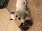 West Highland White Terrier Puppy For Sale in KENNER, LA