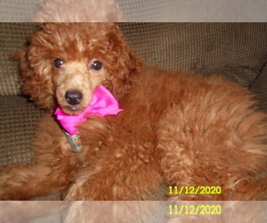 Medium Poodle (Toy)