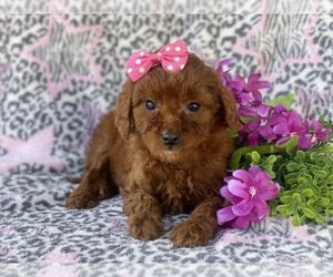 Goldendoodle-Poodle (Miniature) Mix Puppy for sale in CEDAR LANE, PA, USA