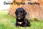 Bernese Mountain Poo Puppy For Sale in AURORA, CO,