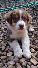Father of the Australian Shepherd puppies born on 09/03/2018