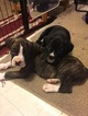 Boxer Puppy For Sale in AFTON, WY