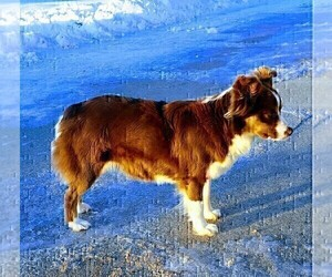 Mother of the Miniature American Shepherd puppies born on 08/25/2020