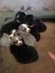 Australian Cattle Dog Puppy For Sale in WATSONVILLE, CA