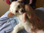 AKC reg Chinese Crested Powderpuff fluffy 14 weeks