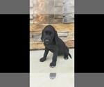 Small #2 Labrador Retriever-Majestic Tree Hound Mix