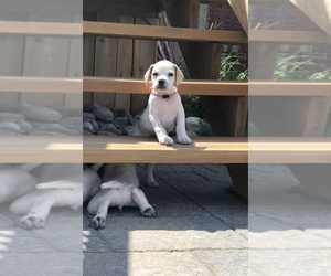 Pointer Dog for Adoption in Uxbridge, Ontario Canada