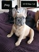 French Bulldog Puppy For Sale in SPANISH FORT, AL, USA