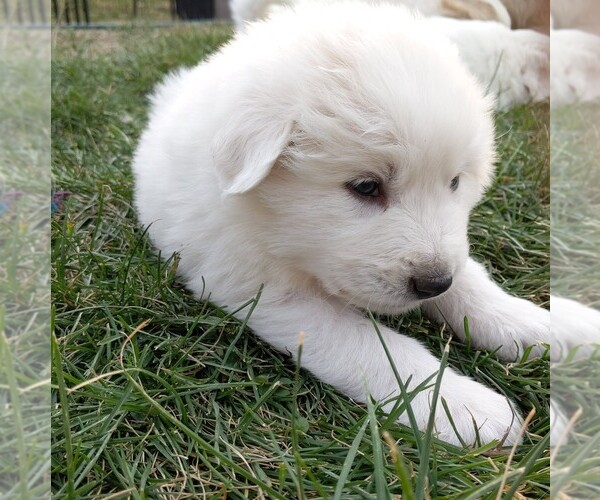 Medium Photo #116 Great Pyrenees Puppy For Sale in FALCON, CO, USA