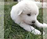 Small #115 Great Pyrenees