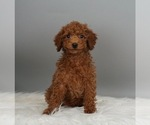 Puppy 1 Poodle (Miniature)