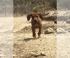 Rhodesian Ridgeback Puppy for sale in MORONGO VALLEY, CA, USA