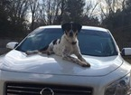 Small #2 Australian Shepherd-Bernese Mountain Dog Mix