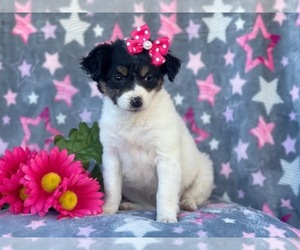 Jack Russell Terrier Mix Dog for Adoption in LAKELAND, Florida USA
