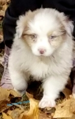 Australian Shepherd Puppy For Sale in DEPUTY, IN, USA