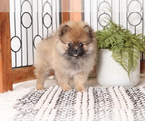 Pomeranian Puppy for Sale in NAPLES, Florida USA