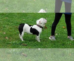 Olde English Bulldogge Puppy for sale in ROTHSCHILD, WI, USA