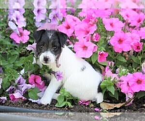 Jack-A-Poo Puppy for sale in FREDERICKSBG, OH, USA