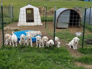 Akbash Dog-Great Pyrenees Mix Puppy for sale in GARDEN CITY, MO, USA