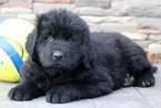 Newfoundland Puppy For Sale in MOUNT JOY, Pennsylvania,