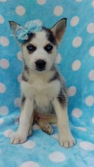 Siberian Husky Puppy for sale in EDEN, PA, USA