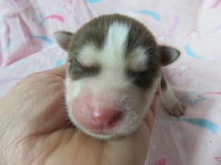 Siberian Husky Puppy For Sale in GADSDEN, AL