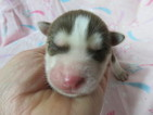 Siberian Husky Puppy For Sale in GADSDEN, AL