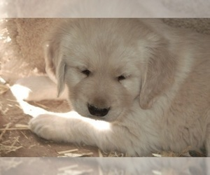 Golden Retriever Puppy for sale in SCOTTSDALE, AZ, USA