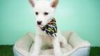 Siberian Husky Puppy For Sale in LAS VEGAS, Nevada,