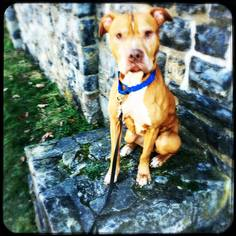 Shiner - Needs Foster - Pit Bull Terrier / Mixed (short coat) Dog For Adoption