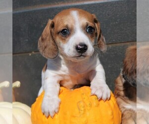 Dachshund Puppy for sale in MYERSTOWN, PA, USA