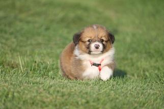Pembroke Welsh Corgi Puppy For Sale in BRAYMER, MO