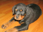 Rottweiler Puppy For Sale in HUDSON, MI, USA