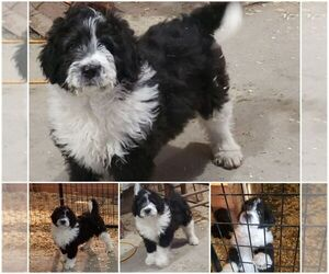 Aussiedoodle Puppy for Sale in DERBY, Iowa USA