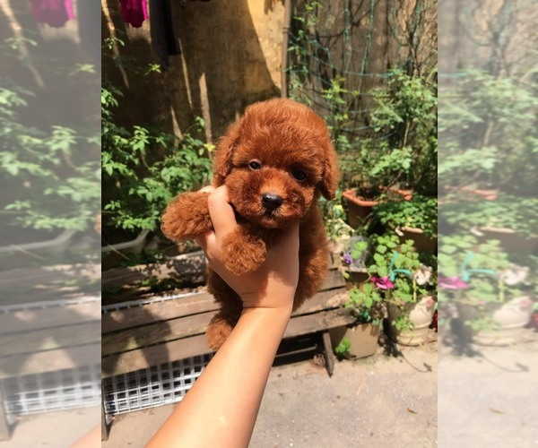 Medium Photo #1 Poodle (Toy) Puppy For Sale in Ha Dong, Ha Noi, Vietnam