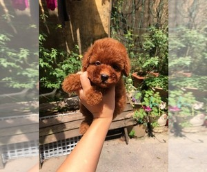 Poodle (Toy) Puppy for sale in Ha Dong, Ha Noi, Vietnam