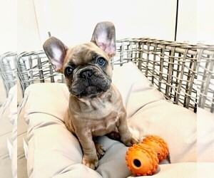 French Bulldog Puppy for Sale in TAMPA, Florida USA