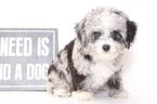 Aussie-Poo Puppy For Sale in NAPLES, FL, USA