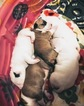 Bull Terrier Puppy For Sale in OKLAHOMA CITY, Oklahoma,